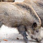 Beste Wildschwein-Lockstoffe, die jeder Jäger verwenden kann